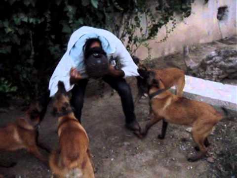 dressage chien TUNISIE: MALINOIS 6 mois Attak - YouTube