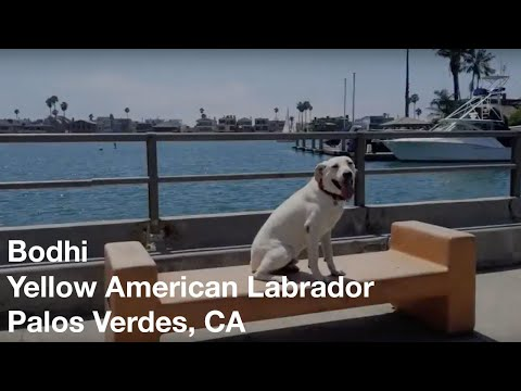 Bodhi | Yellow American Labrador| Palos Verdes, CA