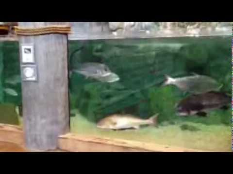 Bass pro shops fish tank myrtle beach south carolina youtube for Bass fish tank