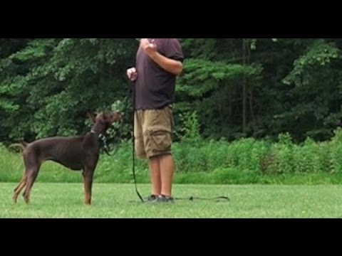 Best Dog Training in Columbus, Ohio! 1 Year Old Doberman Pincer, Nikita!