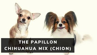 All About The Papillon Chihuahua Mix (Chion)