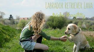 Labrador Retriever Lava - Tricks & Agility
