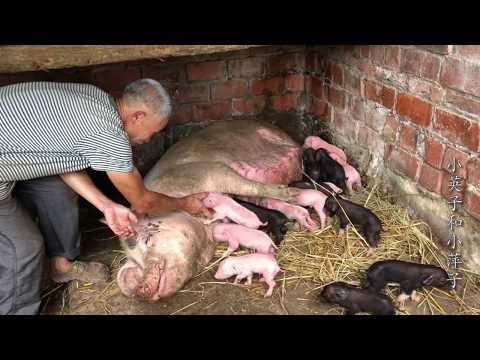 猪价一直在降,我家母猪又生了十六头小猪,我们该怎么处理这些猪