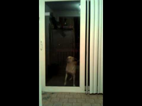 Puppy trying to get in the house jumping on door like a rabbit