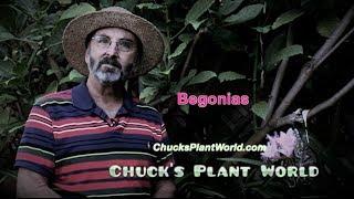 Begonia's planting and gardening tips from Gardner, Plant Design Specialist, Chuck Schwartz