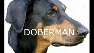 Doberman: Owning/training - Loyal Companion & Family Pet.
