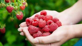 Как увеличить урожай малины Уход за малиной в июле