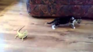 Kitty gets frightened by 2 lizards and goes crazy!