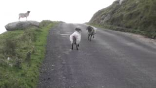 combat béliers irland 2012 fight of rams in Irland thumbnail