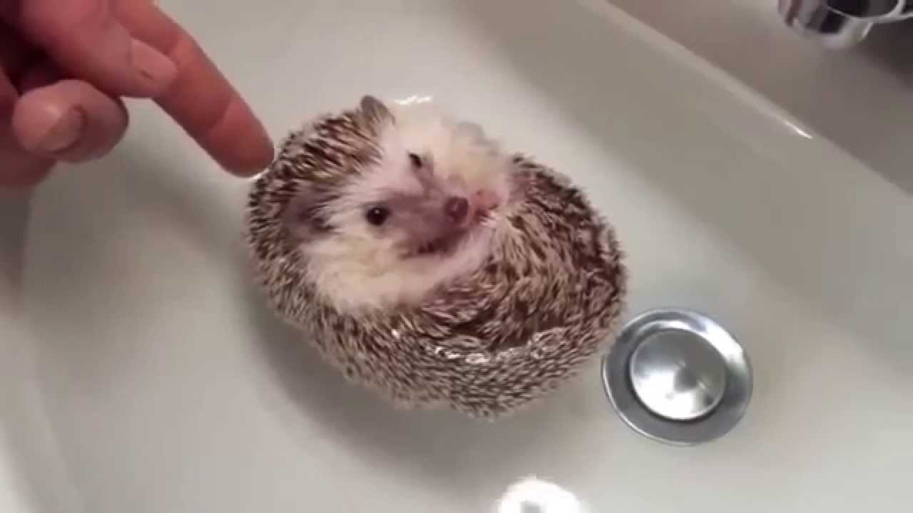 African Pygmy Hedgehogs - YouTube