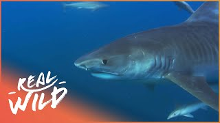 Diver Has A Close Call With Tiger Shark | Shark Divers | Real Wild