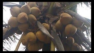 Gambar cover Giống dừa lửa, vua các loại dừa