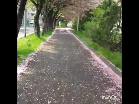 Sapporo sakura cycling music