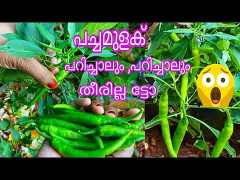 പച്ചമുളകിൽ ധാരാളം കായ്കൾ ഉണ്ടാകാൻ||      Green Chilly Farming Tips