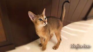 Из жизни Абиссинцев. Котята абиссинской породы. Абиссинцы!!! #aby