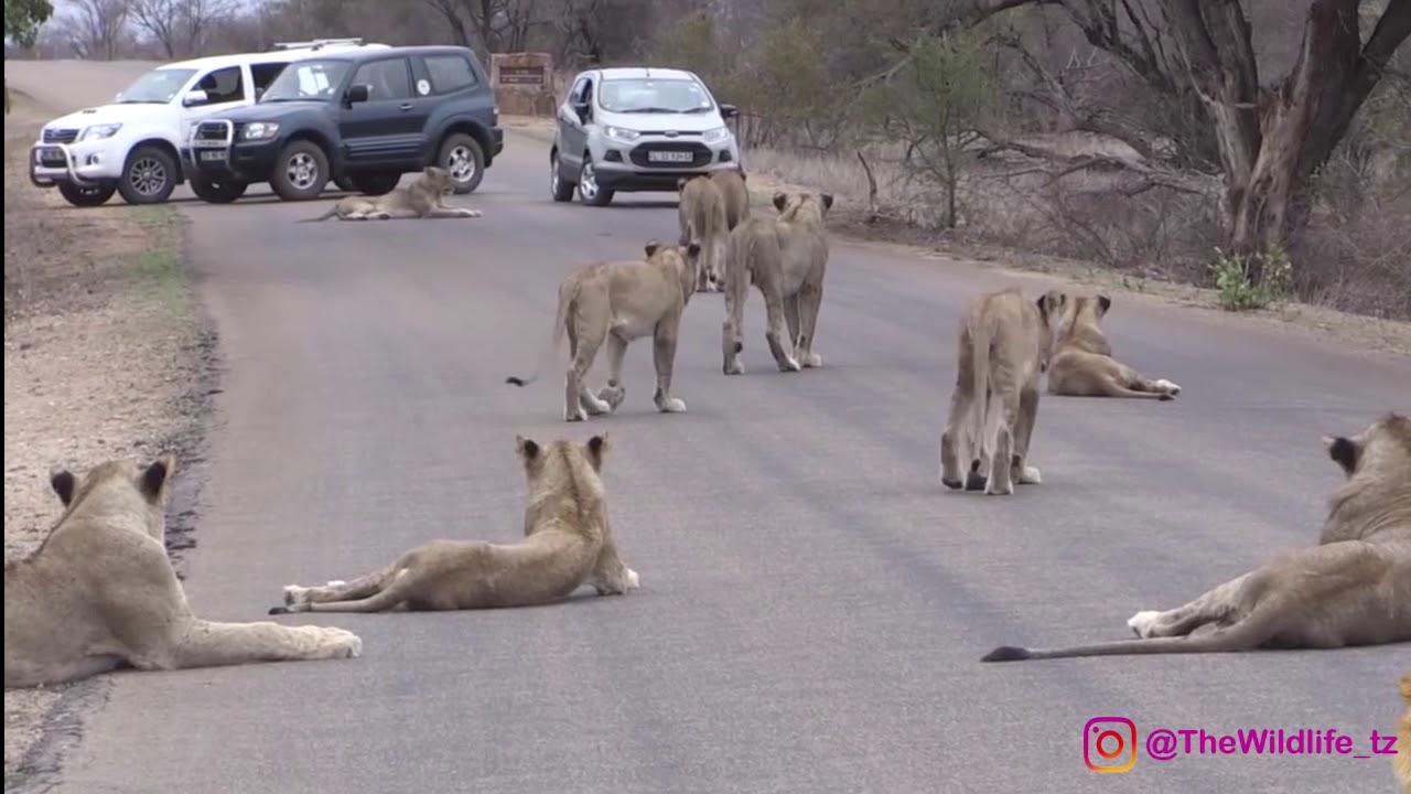 maisha ya simba (lion's life cycle) - YouTube