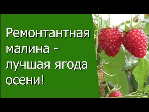 Ремонтантная малина - лучшая ягода осени!
