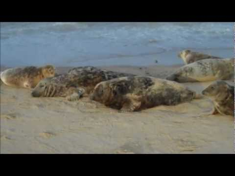 Grey seals on the Norfolk coast