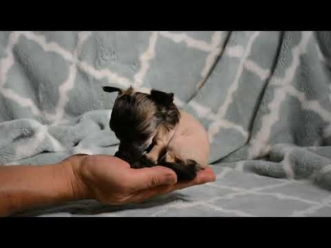 Teacup Sized Hairless Chinese Crested Puppy In Hand Princess Guinevere Week 5