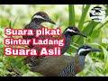 Suara asli burung sintar ladang cocok untuk suara pikat