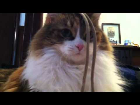 Maine Coon trilling