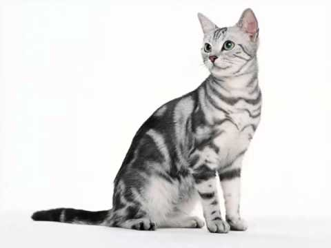 American Shorthair Black And White | Set Of Cat Breed Pictures
