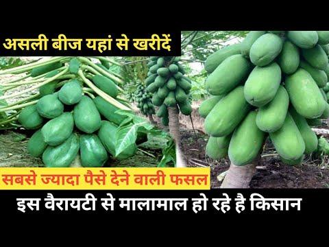 पपीता को बीज से उगाने की पूरी जानकारी || Papaya Farming
