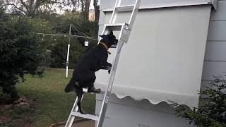Kelpie dog climbs a ladder
