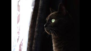 Scarlet the Russian Blue Cat // 4K