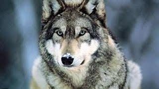 Return Of The European Wolf