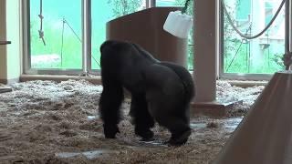 東山動植物園の北園で「新ゴリラ・チンパンジー舎」が公開となりました...