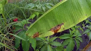 Odc-706-Uwaga⛔❌- #Choroby #grzybowe na liściach. Czym #pryskać ?