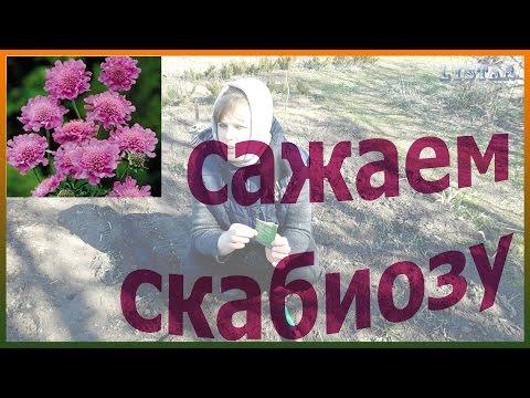 Как сажать скабиозу Сеем скабиозу Уход посадка выращивание скабиозы