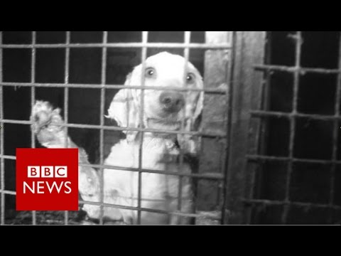 Britain's Puppy Dealers Exposed - BBC News