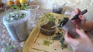 ПИКИРОВКА ТОМАТА ИЗ ВЕРМИКУЛИТА!!!(В этом видео я покажу пикировку томата из вермикулита.И расскажу о достоинствах выращивания рассады в верм..., 2016-03-15T07:29:02.000Z)