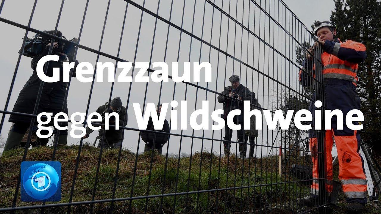 Deutsch Danische Grenze Schutz Gegen Schweinepest Youtube