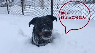 【 Rottweiler 】 我が家のロットワイラーのベス 大雪が降った次の日に...