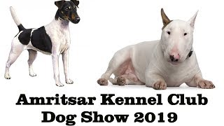 Smooth Fox Terrier, Bull Terrier | Dog Show Amritsar Kennel Club  2019