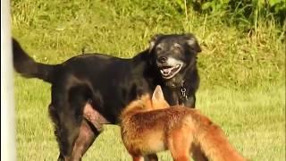 Собака против лисы | Fox vs Dog | Vulpes vs Canis lupus familiaris