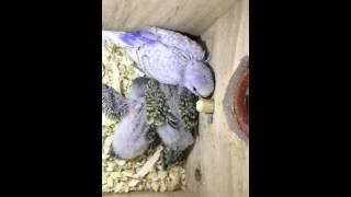 Волнистые попугаи :Птенцы волнистого попугая