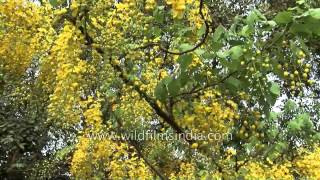 Golden shower tree - the state flower of Kerala in India
