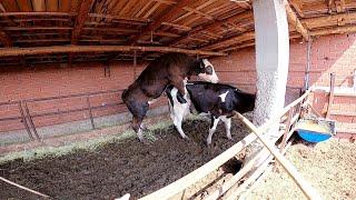 döl tutmayan ineği boğayla birleştirdik / inek ve boğa çiftleşmesi