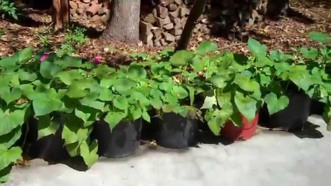 Sweet Potatoes Grown In Pots Tee Florida
