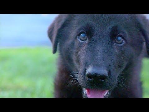 German Shepherd Puppy Growing Up! (6 weeks to 1 year)