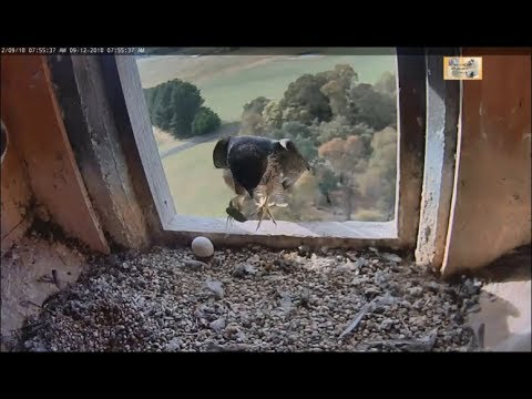 CSU Orange Peregrine Falcon Cam ~ The One That Got Away ~ Cicada Escapes! 12.9.18 Mp3