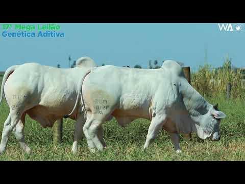 LOTE 70 - DUPLO - REM 10121, REMC A 2200 - 17º Mega Leilão Genética Aditiva 2020