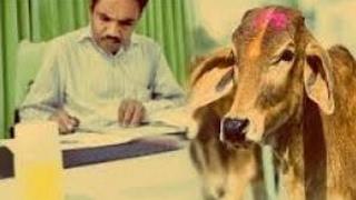 علماء هنود يكتشفون أبقار تتبول ذهبا بالهند بعد إضافة تفاعلات كيميائية لها . سبحان الله العظيم