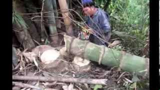 Giant Bamboo Biggest in Thailand 1