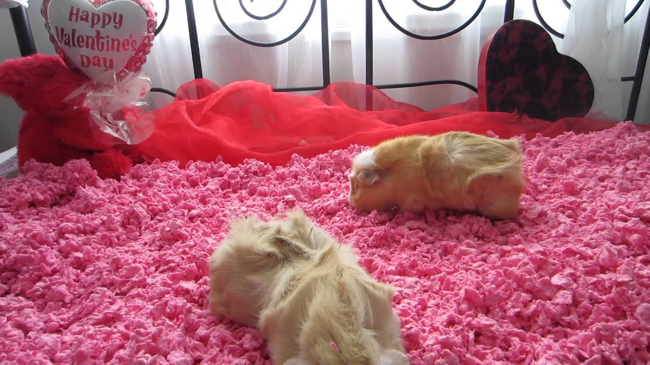 Pink Carefresh with guinea pigs Boa and the Baby