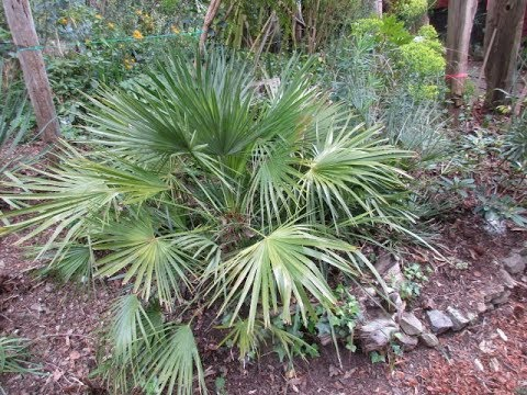 Mediterranean Fan Palm Growth Rate in a Northern Climate